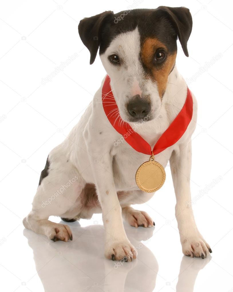 Jack russell terrier \\n aspena of rising sun \\n picture 105364; views: 206
